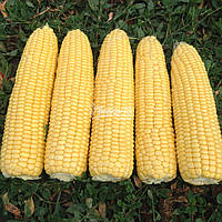 Семена Сахарной кукурузы Турбин F1 Clause