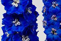Дельфиниум Candle Blue Shades F1, Sakata 1 000 семян