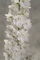 Дельфиниум Candle White Shades F1, Sakata 1 000 семян