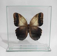 Сувенир - Бабочка под стеклом Caligo memnon