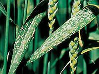 Вирусные болезни зерновых культур