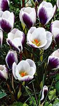 Крокус ботанический Prins Claus 5/7   уп 5 шт