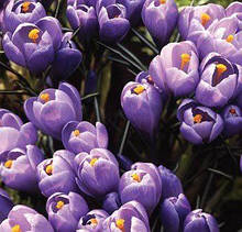 Крокус Крупноцветковый Grand Maitre   5 шт