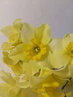 Нарциссы, фото 1