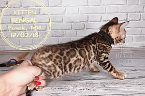 Мальчик 17.02.18. (Чёрный) Бенгальский котёнок питомника Royal Cats.