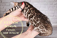 Девочка 17.02.18. (Фиолетовый) Бенгальский котёнок питомника Royal Cats., фото 1