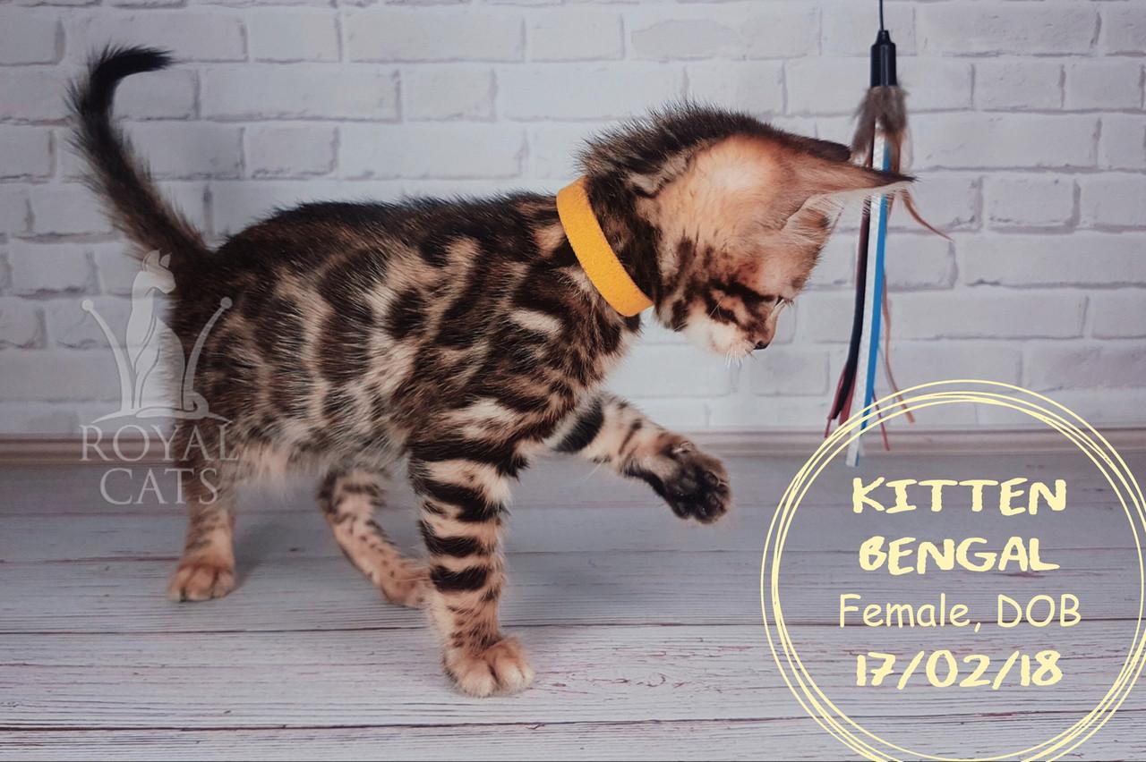 Девочка 17.02.18. (Жёлтый) Бенгальский котёнок питомника Royal Cats.