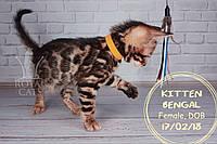 Девочка 17.02.18. (Жёлтый) Бенгальский котёнок питомника Royal Cats., фото 1