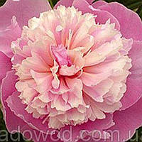 Пион розовый травянистый саженец