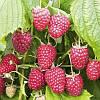 Полка малина (Polka Raspberry)