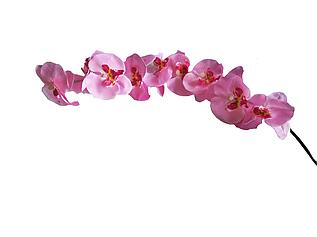 Ветка орхидеи розовая