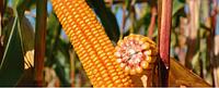 Насіння кукурудза ЕС КРЕАТИВ ФАО 300
