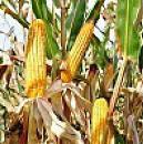 Насіння кукурудза ЕС МЕТОД ФАО 380