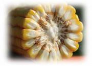 Насіння кукурудза ЕС НІНФЕА ФАО 330