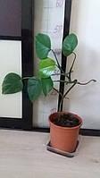Монстера Борзига. Комнатное растение.