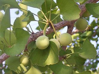Гинкго билоба (Ginkgo Biloba) - всё о самом древнем и полезном дереве