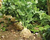 Пастернак - холодостойкое растение