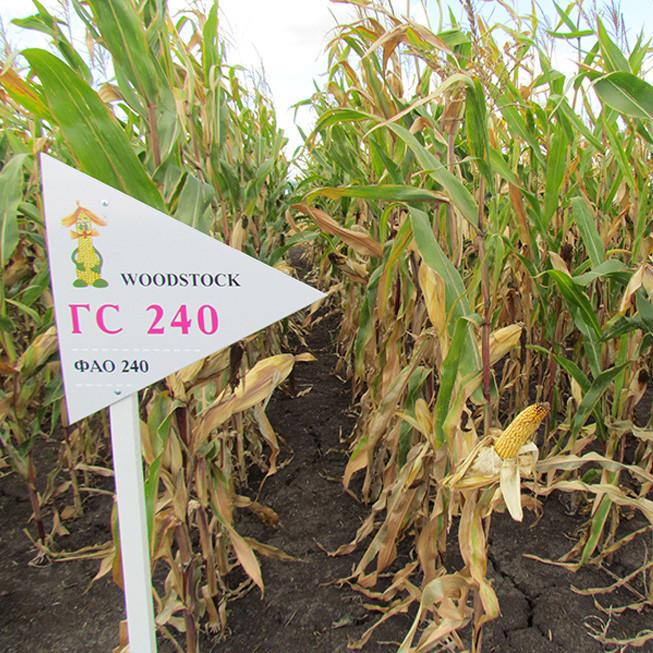 Гибрид кукурузы ГС 240 - ФАО 240 (2018)