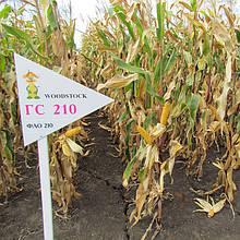 Гибрид кукурузы ГС 210 - ФАО 210 (2017)