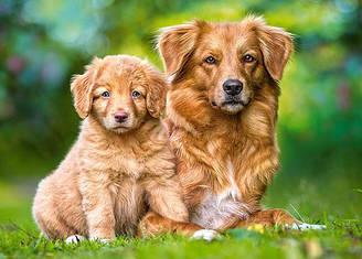 Пазлы Castorland Всегда вместе, собачки, 13265, 120 элементов