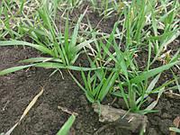 Внекорневая подкормка зерновых микроудобрением Реаком Плюс С Зерно. Стимулятор роста с микроэлементами по зерновым культурам.
