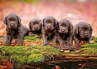 Пазлы Castorland Пять маленьких щенков, 13418, 120 элементов