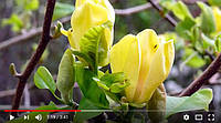 Смотрите на нашем канале YouTube: Новинки растений сезона Весна-2018 в СЦ 'Сад Вашей мечты'