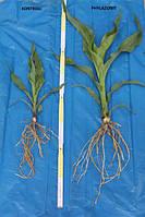 Биопрепарат Филазонит - находка для агрономов