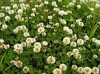 Газоная трава Клевер Белый AG (DSV) 1 кг.
