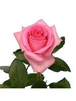 """Роза """"Ревиваль"""", фото 1"""