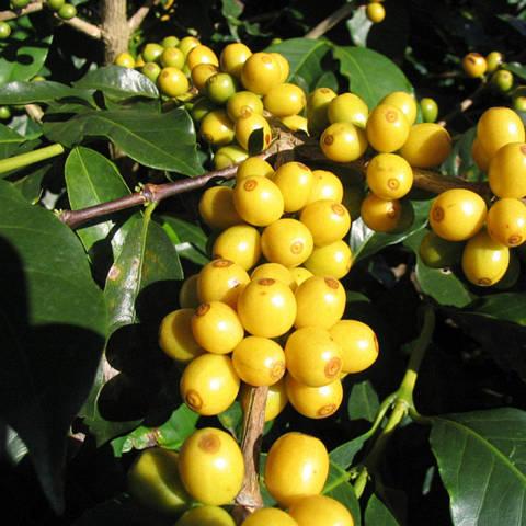 Кава «Арабіка Жовтий бурбон»