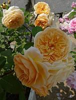 Роза Тизинг Джоржия Англ.