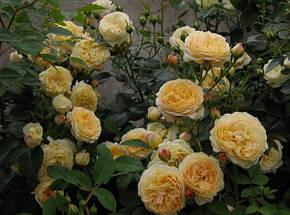 Роза Тизинг Джоржия Анг., фото 2