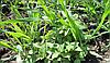 Гербициды для удаления падалицы подсолнечника и других сорняков на посевах пшеницы