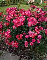 Роза Твист Плетистая