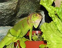Зелена ігуана — екзотична рептилія родом з Південної Америки.