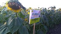 Семена подсолнечника ЕС Генезис, Euralis Semences