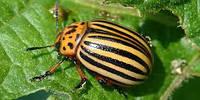 Новий препарат від колорадського жука 2018 ЖукОФФ на 2 та на 10 соток