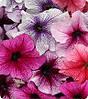 Петуния крупноцветковая Вертуоз Бери микс 500 с