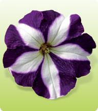 Петуния крупноцветковая Домино Блю стар