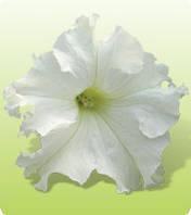 Петуния Крупноцветковая Ямамото белый
