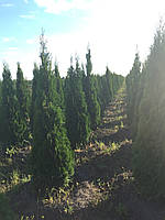 Туя западная смарагд (Thuja occidentalis 'Smaragd')