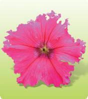 Петуния Крупноцветковая Ямамото Rose 250 с