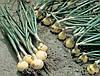 Семена лука Хиело калибров. 250 000 сем. Бейо заден.