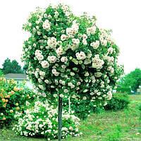 Штамбовая роза 2-летний сажнец