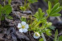 Лапчатка белая - польза и вред растения