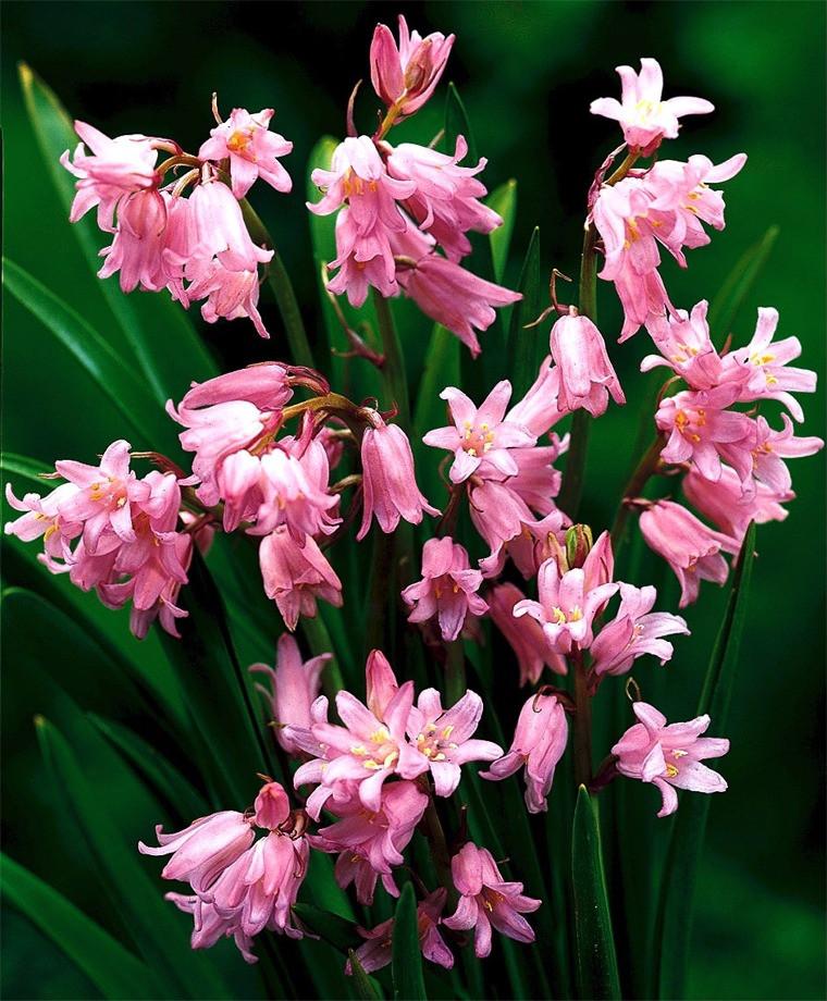 Луковицы гиацинтоидесов розовый 5 шт