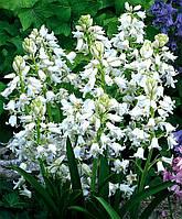 Луковицы гиацинтоидесов белый
