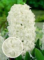 Луковицы гиацинт махровый Snow Crystal 2 шт