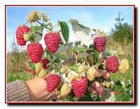 Продажа саженцев малины раннего сорта Солнышко. Низкие цены. Доставка по Украине